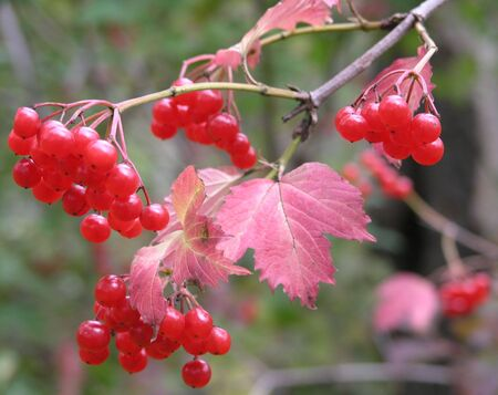 guelder rose berry: branch of a viburnum