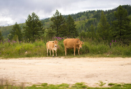 two brown cows in a meadow pasture, in kazakhstan