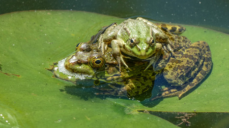 Two Frogs On A Water, Lily Leaf,Daytime