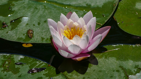 Pink Nymphaea Flower At Summer,Outdoors, Background Zdjęcie Seryjne