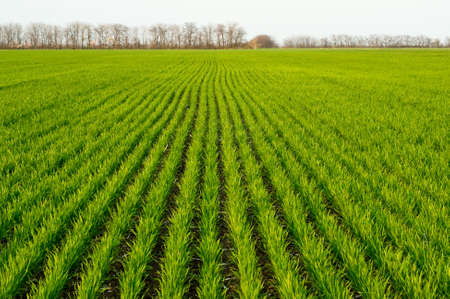 new shoots of a winter wheat on a spring field