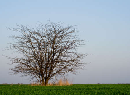 natural moody: Lonely tree without leaves in a spring field with a green grass Stock Photo