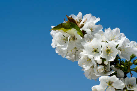 White flowers on a tree branch in a spring garden photo