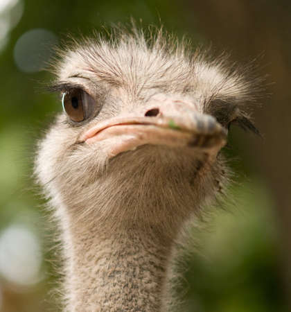 ostrich face, close-up photo