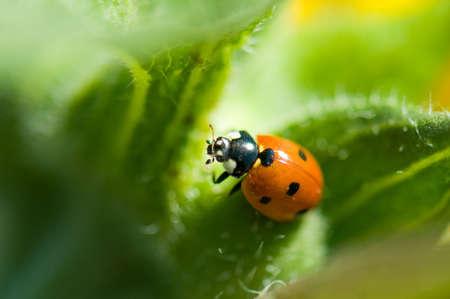 Macro of a ladybug sitting on leaf of field Stock Photo - 5692741