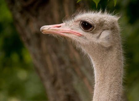A full image of an ostrich face, close-up photo