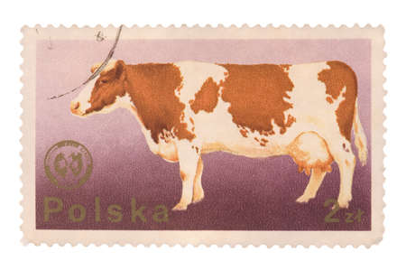 POLAND - CIRCA 1975: A postage stamp printed in the Poland shows image of a cow, circa 1975 Stock Photo - 6555998