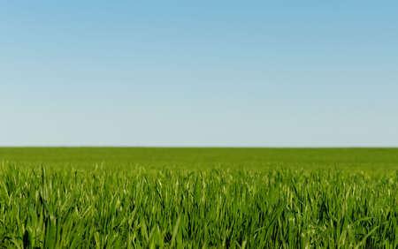 winter wheat: Winter wheat on a spring field