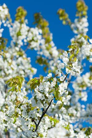 Árboles de cereza florecientes con flores blancas en el cielo azul en primavera  Foto de archivo - 7003053