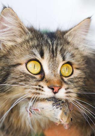 catfood: Simpatico gatto con il topo grigio. Close-up, all'aperto.