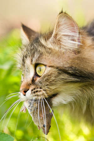 Cute cat with gray mouse. Close-up, outdoor. photo