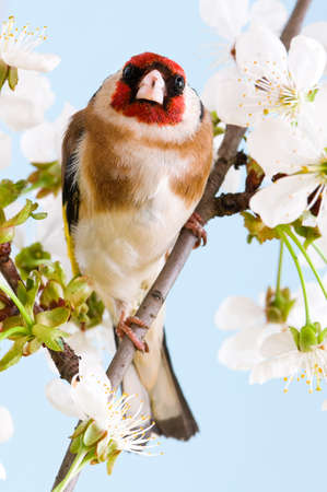Goldfinch sitting on a branch of blossom tree in spring Stock Photo - 7056775