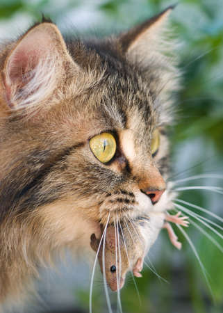cat and mouse: Cat with gray mouse. Close-up, outdoor.