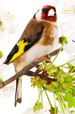 Goldfinch sitting on a branch of blossom tree in spring Stock Photo - 7095372