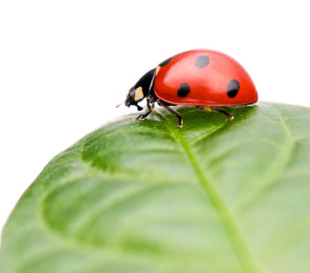 Ladybug sitting on leaf, on white background photo
