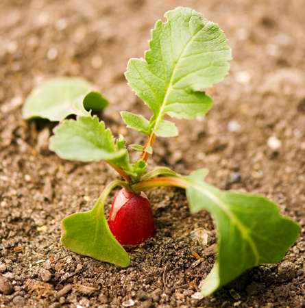 Red radish growing out of soil photo