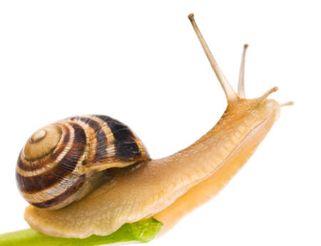 snail: Big garden snail isolated on a white background