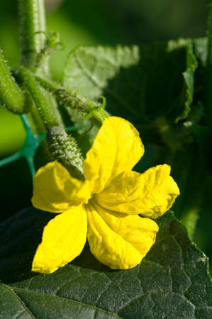 Cucumber in the garden grow on natural way photo