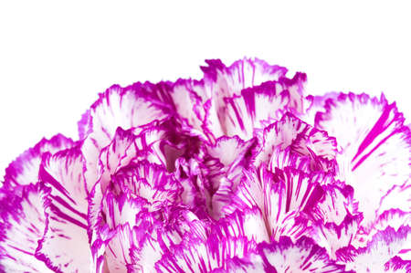 Beautiful purple carnation. Isolated on white background. photo