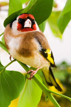 Goldfinch sitting on a branch of tree in spring photo