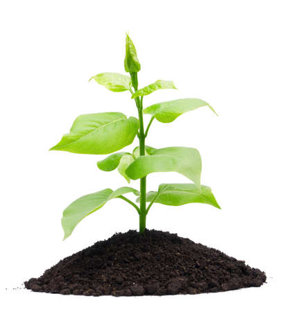 sapling: Plant and soil, isolated on white background