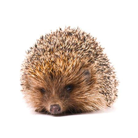 spiked hair: Nice hedgehog animal isolated on white background Stock Photo
