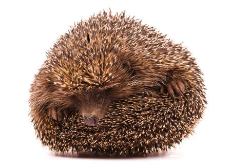 Nice hedgehog animal isolated on white background Stock Photo