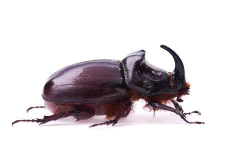 Rhinoceros beetle isolated on a white background photo