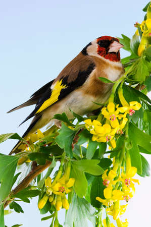 Goldfinch sitting on a branch of blossom tree in spring photo