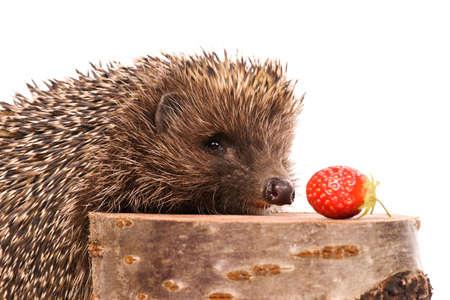 Nice hedgehog animal on stump isolated on white background photo