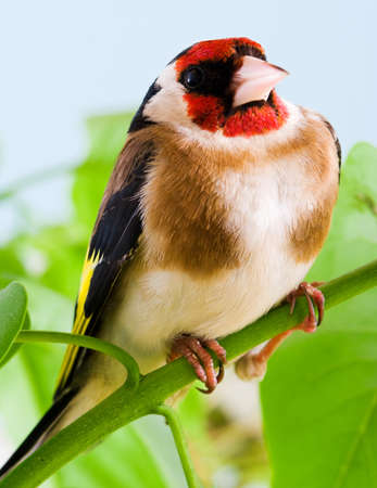 Goldfinch sitting on a branch tree in spring photo