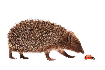 Nice hedgehog and ladybird isolated on white background photo