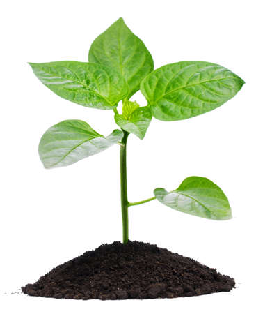 Plant and soil, isolated on white background photo