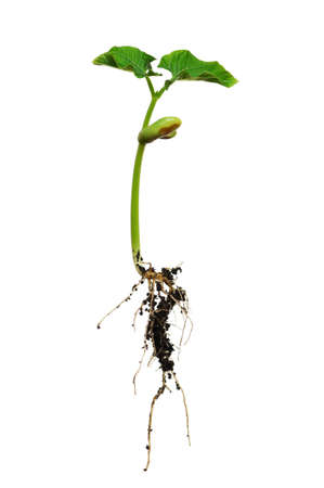 haricot: Young haricot seedling, showing its roots, isolated on white background