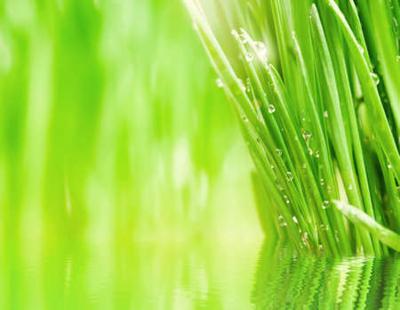 Fresh green wheat grass with drops dew, over water photo