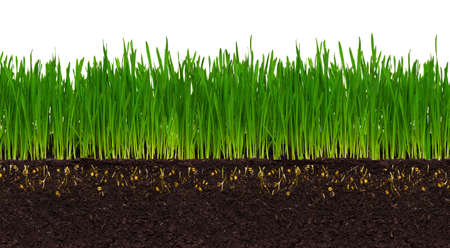 humus: Fresh green wheat grass isolated on white background