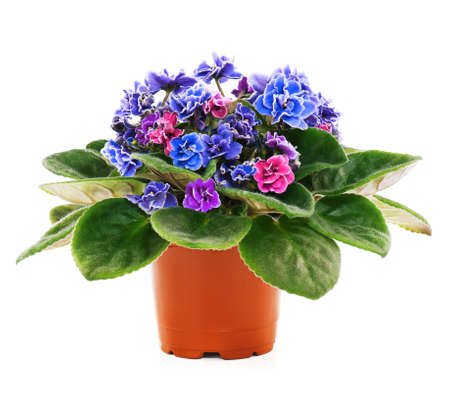 potted plant: Blossoming violets in flower pot - isolated on white background