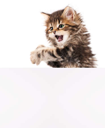 kitten small white: Kitten with blank_02(19).jpg Stock Photo