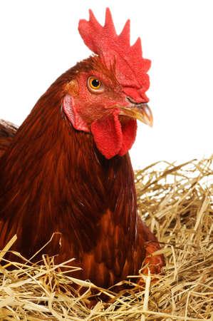 hens: Hen on nest Stock Photo