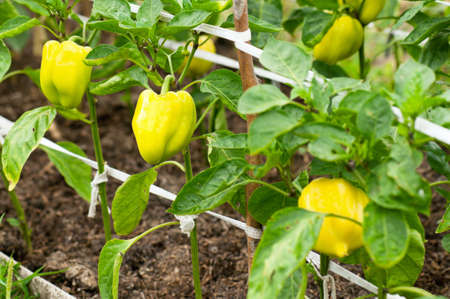 ripening: Some ripening sweet pepper on the bush in a kitchen garden Stock Photo