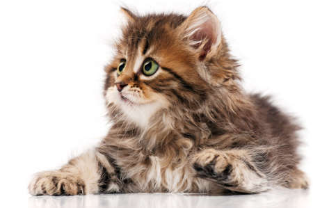 domestic animal: Cute little Siberian kitten isolated on white background Stock Photo