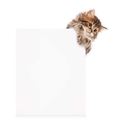 a placard: Pretty kitten peeking out of a blank sign, isolated on white background Stock Photo