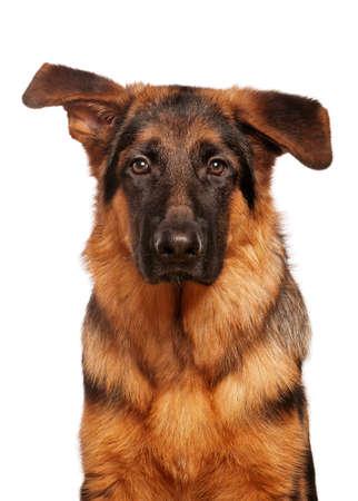 Deutsch Shepherd Welpe, 5 Monate alt auf weißem Hintergrund