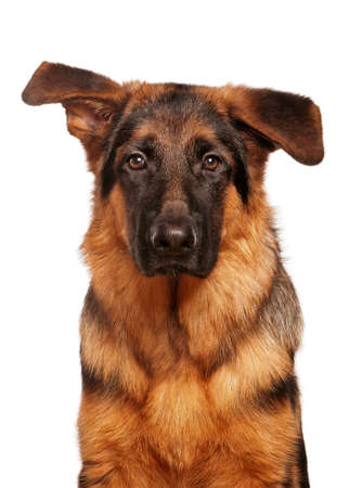 German Shepherd puppy, 5 months old on white background photo