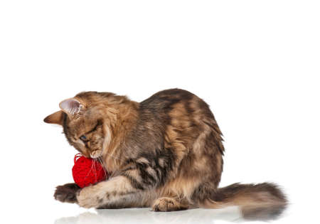 clew: Cute young Siberian cat with red clew isolated on white background Stock Photo
