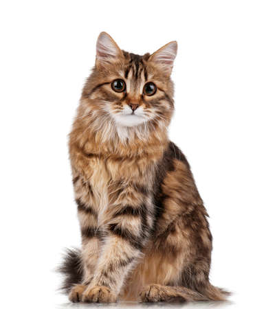longhaired: Cute young Siberian cat on white background