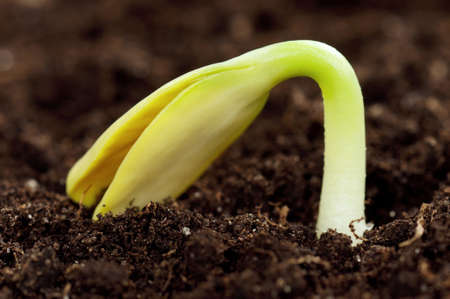 Close-up of seedling of a sunflower growing out of soil photo
