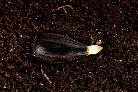 Close-up of seedling of a sunflower growing in soil photo