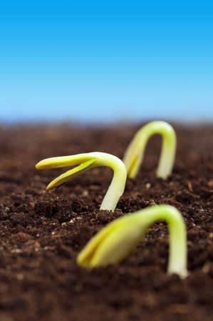 Close-up of seedling of a sunflower growing out of soil