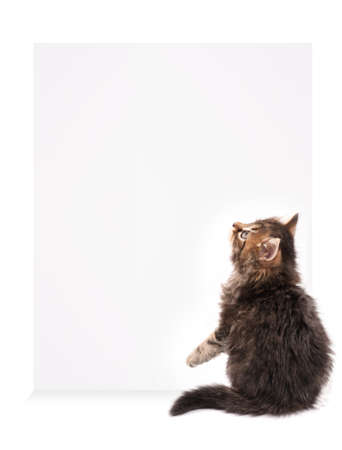 brown pussy: Pretty kitten peeking out of a blank sign, isolated on white background Stock Photo